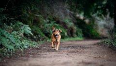 biegnący pies